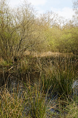 Photo of rushes and willows