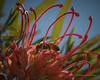Grevillea heaven for the bees.....