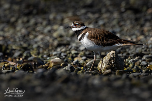 """Killdeer • <a style=""""font-size:0.8em;"""" href=""""http://www.flickr.com/photos/106269596@N05/51132390624/"""" target=""""_blank"""">View on Flickr</a>"""