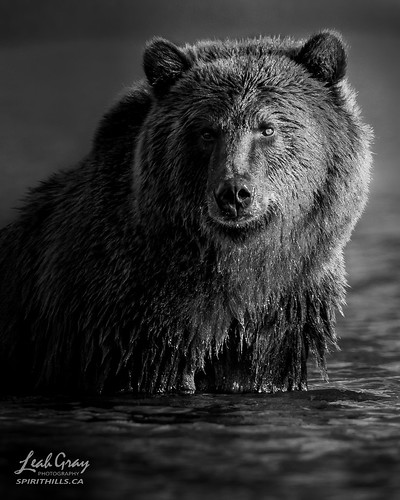"""Grizzly from the Chilko River, British Columbia • <a style=""""font-size:0.8em;"""" href=""""http://www.flickr.com/photos/106269596@N05/51132995780/"""" target=""""_blank"""">View on Flickr</a>"""