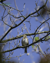 Photo of Song Thrush - Turdus philomelos
