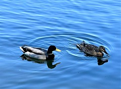 Photo of Ducks at Stocker's Lake Nature Reserve, Rickmansworth, Herts. UK 2021.