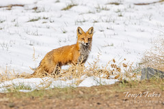 Red fox keeping close watch