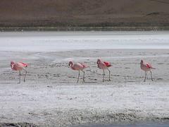 Flamingoes in the Salar de Uyuni