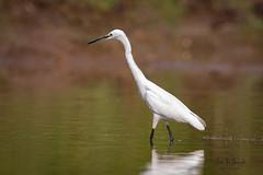 An Intermediate Egret in Action