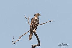 A Changeable Hawk Eagle surveying the area