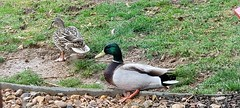 April 27, 2021 - Ducks hang out after the rain. (David Canfield)