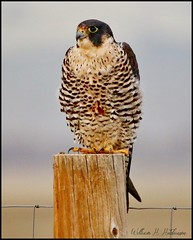 April 23, 2021 - A peregrine falcon keeping watch. (Bill Hutchinson)