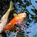 Koi Pond, Nashville Zoo 3/26/21