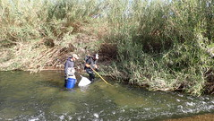 Electrofishing next to a wall of Arundo donax