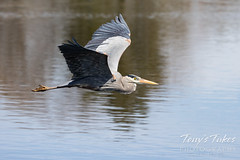April 25, 2021 - A great blue heron flies by. (Tony's Takes)