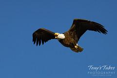 April 25, 2021 - A bald eagle makes some noise. (Tony's Takes)