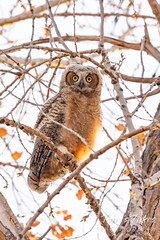April 25, 2021 - A very cute great horned owl owlet. (Tony's Takes)