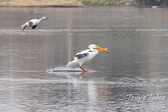 April 24, 2021 - A pelican and goose come in for a landing. (Tony's Takes)