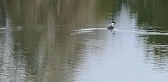 April 23, 2021 - A western grebe on a Thornton pond.  (Le Worley)