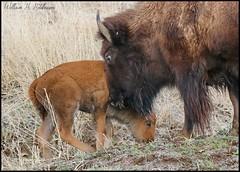 April 23, 2021 - Bison calf and cow. (Bill Hutchinson)