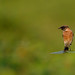 A Siberian Stonechat on a leaf perch