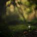 Wood Anemone 7