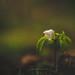 Wood Anemone 8