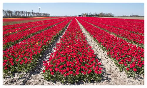 Tulpen, Flevoland