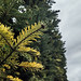 Close-up of the needles on an evergreen tree. Cloudy sky