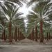 date palms. mecca, ca. 2018.