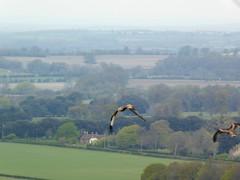 Photo of Watlington Hill: red kites hovering