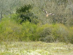 Photo of Watlington Hill: red kite hovering
