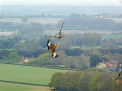 Photo of Watlington Hill: red kites swooping low