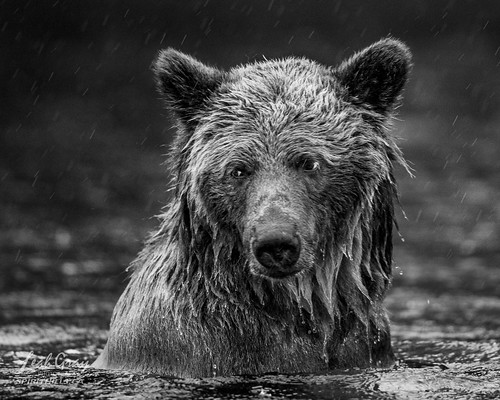 """Grizzly Bear in the rain • <a style=""""font-size:0.8em;"""" href=""""http://www.flickr.com/photos/106269596@N05/51156633385/"""" target=""""_blank"""">View on Flickr</a>"""