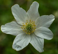 Photo of 2021 04 09 - woodland anemone