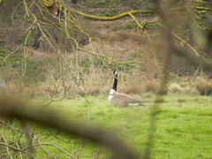 Photo of Canada goose in a field, 2021 Mar 20