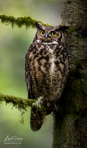 """Great Horned Owl • <a style=""""font-size:0.8em;"""" href=""""http://www.flickr.com/photos/106269596@N05/51157778802/"""" target=""""_blank"""">View on Flickr</a>"""