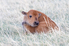 May 2, 2021 - Bison calf taking a break. (Tony's Takes)