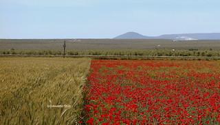 Campos de trigo y amapolas.