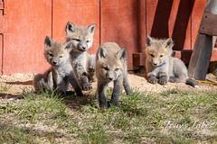 May 1, 2021 - Quartet of cute fox kits. (Tony's Takes)