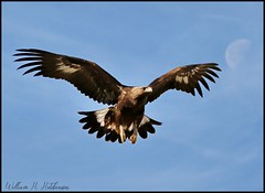 May 2, 2021 - A gorgeous young golden eagle takes flight. (Bill Hutchinson)