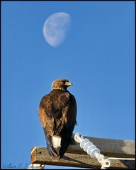 May 1, 2021 - Golden eagle and the moon. (Bill Hutchinson)