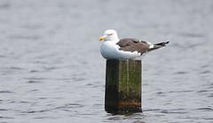 Kleine Mantelmeeuw 2: Goeland brun : Larus fuscus : Heringsmowe : Lesser Black-backed Gull