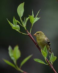 American Goldfinch 06919