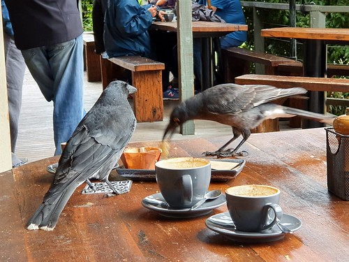 Currawongs; one pied, one grey (I think)