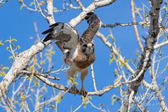 May 2, 2021 - A Swainson's hawk takes flight. (Tony's Takes)