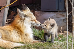 May 1, 2021 - A fox kit and parent enjoy a moment. (Tony's Takes)