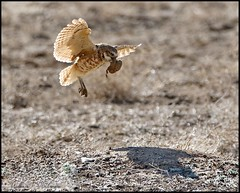 May 1, 2021 - Burrowing owl brings back some nesting material. (Bill Hutchinson)