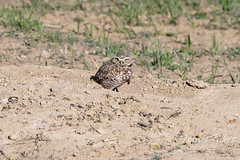 May 2, 2021 - A burrowing owl keeps watch. (Tony's Takes)