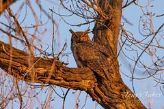 Golden-eyed great horned owl