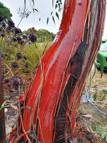 Colours of the gum tree bark in the rain