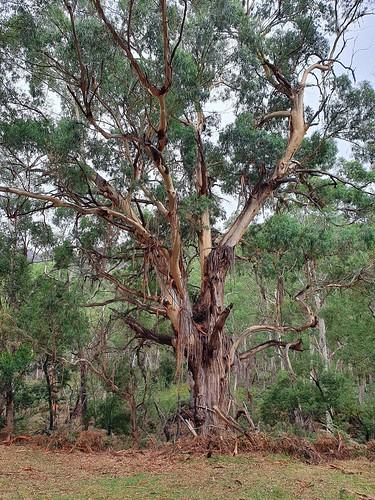 Magnificent gum tree in Halls Gap