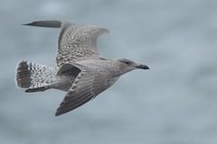 DSC_6388 Kleine Mantelmeeuw juv : Goeland brun : Larus fuscus : Heringsmowe : Lesser Black-backed Gull : Gaviota sombria