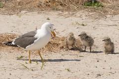 508 Kleine mantelmeeuw : Goeland brun : Larus fuscus : Heringsmowe : Lesser Black-backed Gull
